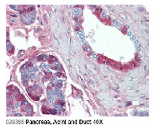 Anti-Jagged-1 (human), clone J1G53-3