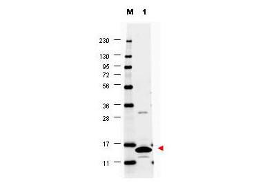 Anti-Granulocyte Macrophage Colony Stimulating Factor (GM-CSF, mouse)