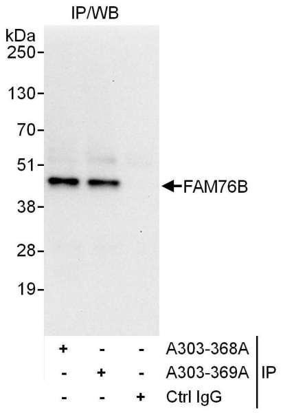 Anti-FAM76B