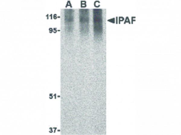 Anti-Ipaf
