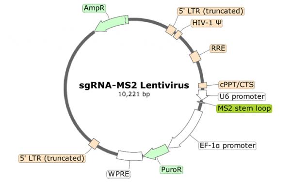 PD-1 (Human) sgRNA-MS2 Lentivirus (Integrating)