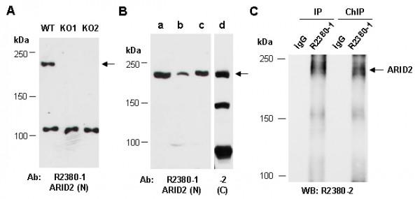 Anti-ARID2 (N)