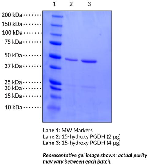 15-hydroxy Prostaglandin Dehydrogenase (human recombinant)