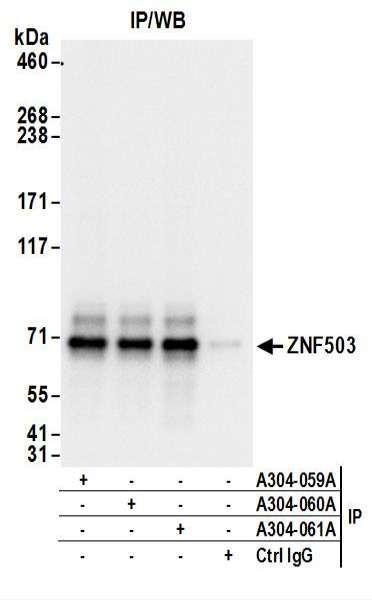 Anti-ZNF503
