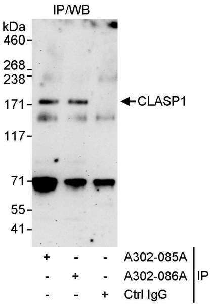 Anti-CLASP1