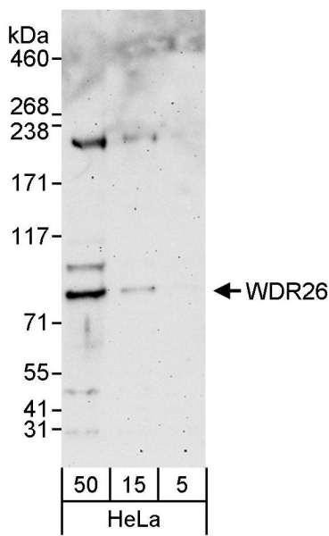 Anti-WDR26