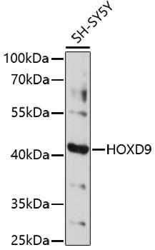 Anti-HOXD9