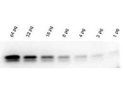 FemtoMax Super Sensitive Chemiluminescent Western Blotting Kit for use with goat primary antibody