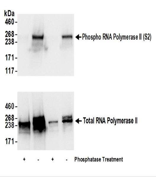 Anti-phospho-RNA Polymerase II (Ser2)