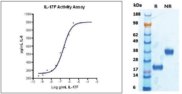 Interleukin-17F (IL-17F), human recombinant (HumaXpress)