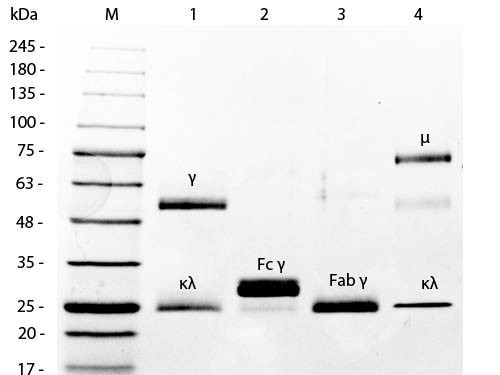 Mouse IgG F(ab')2 Fragment Peroxidase Conjugated
