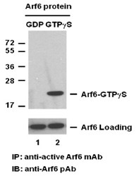 Anti-Active Arf6, monoclonal