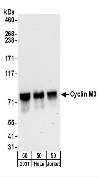 Anti-Cyclin M3