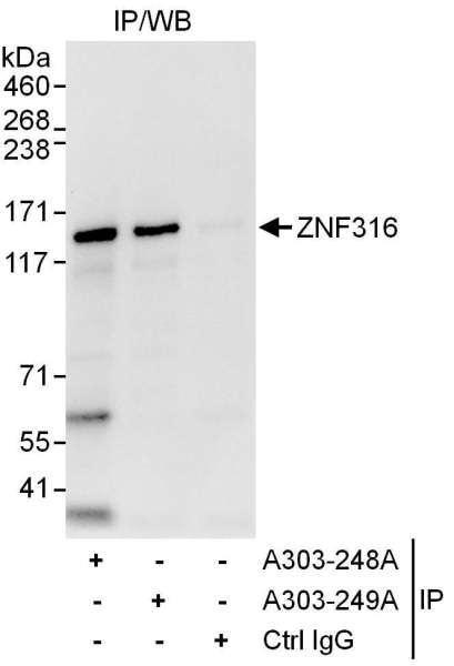 Anti-ZNF316