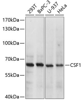 Anti-CSF1