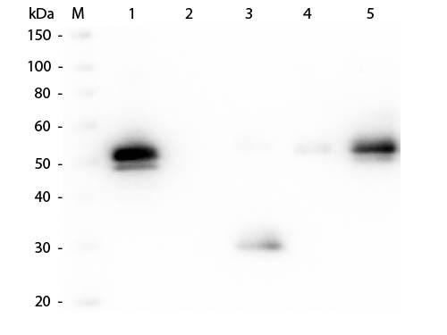 Anti-Rabbit IgG F(c), DyLight 649 conjugated