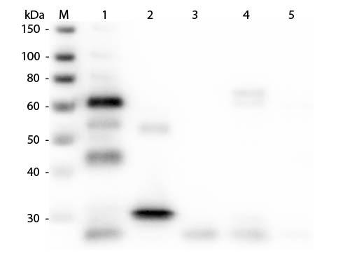 Anti-Chicken IgG (H&L) [Goat] (Min X Bv Gt Gp Ham Hs Hu Ms Rb Rt & Sh serum proteins) Alkaline Phosp