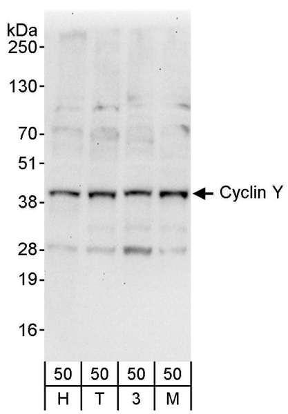 Anti-Cyclin Y