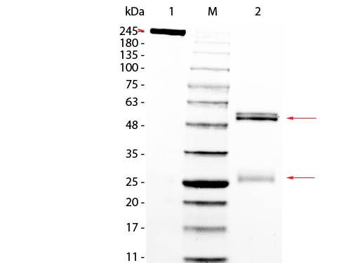 Rat IgG Whole Molecule