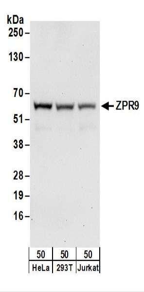 Anti-ZPR9