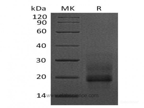 Heparin Binding EGF like Growth Factor/proHB-EGF Protein(C-6His) (recombinant human)