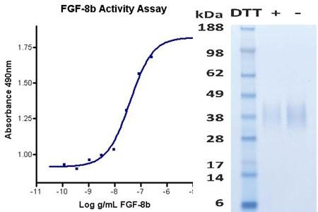 Fibroblast Growth Factor-8b (FGF8b), human recombinant (HumaXpress)