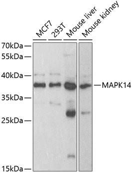 Anti-MAPK14