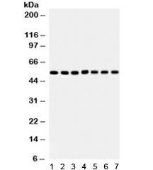 Anti-SMAD (SMAD1-5)