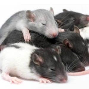 Rat C-X-C chemokine receptor type 1 (Cxcr1) ELISA Kit