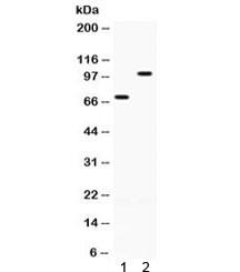 Anti-ZP1 / Zona pellucida sperm-binding protein 1