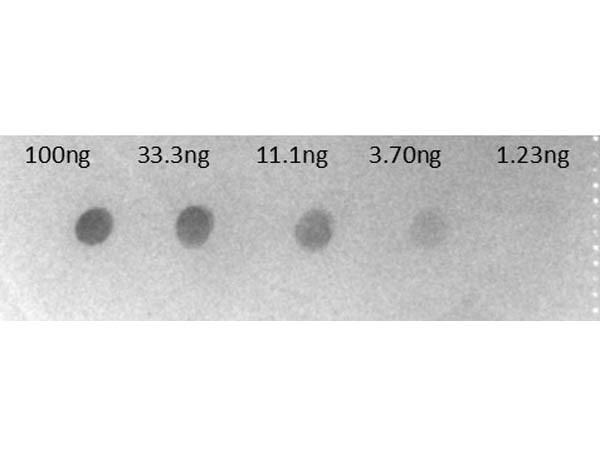Anti-Human IgG F(c) [Goat] (Min X Bv Hs Ms & Rt serum proteins) Alkaline Phosphatase conjugated F(ab